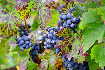 Grapes ready to be harvested in Uco Valley