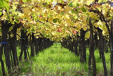 Row of grape in vineyard, Mendoza, Argentina