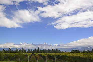 View of vineyard with mountains on background, Andes, Mendoza Argentina