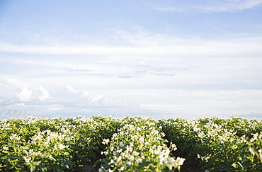 Flowering potato plants, Colorado, USA