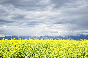 Scenic view of canola field, Colorado, USA
