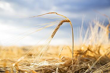 Barley crops in field, Colorado, USA