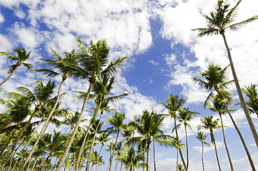 Low-angle view of palm trees, Punta Cana, Dominican Republic
