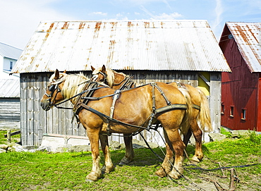 Two horses in front of barn, USA, Colorado