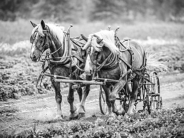 Two horses pulling cart, USA, Colorado