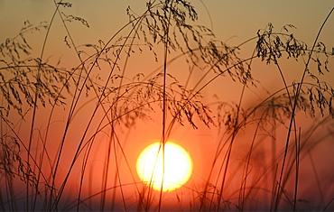 Silhouette of marram grass, USA, Massachusetts, Cape Cod, Truro