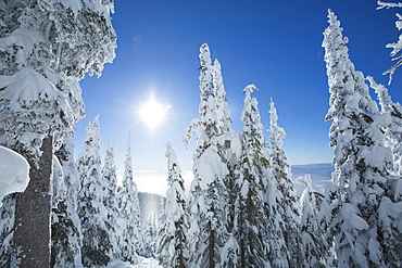 Coniferous trees covered with snow at sunlight, USA, Montana, Whitefish