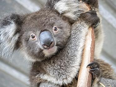 Portrait of koala (Phascolarctos cinereus) on branch