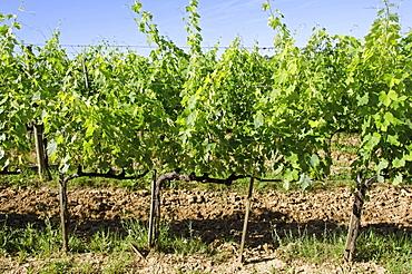Italy, Montepulciano, Grape plants in vineyard