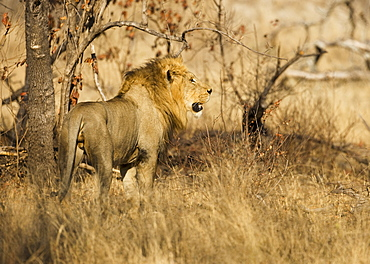 Male lion next to tree