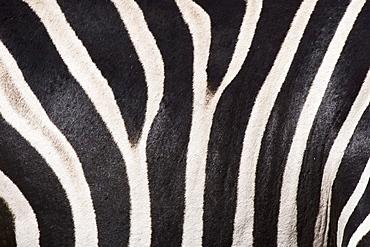Close up of zebra fur
