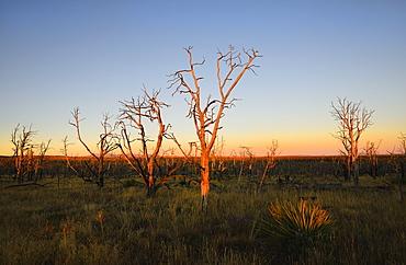 USA, Colorado, Mesa Verde National Park, Bare trees against sunset sky