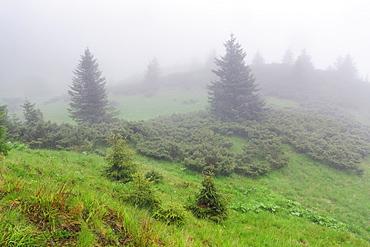 Ukraine, Zakarpattia, Rakhiv district, Carpathians, Maramures, Fog covering evergreen trees