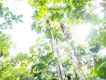 Lush foliage of Licuala grandis (Fan palm)