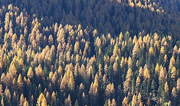 Pine forest in the Dolomites, South Tyrol, Italy