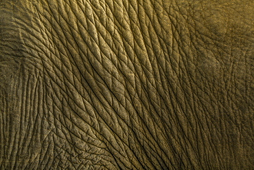 Close of Indian elephant's skin