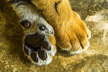 Tiger cub's paws