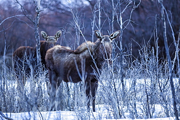 Moose in Picabo, Idaho