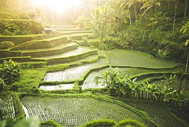 Terraced rice paddies in Bali, Indonesia