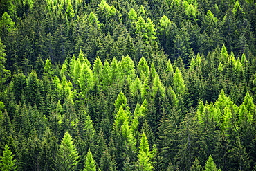 Hillside pine forest, St. Peter, South Tyrol, Italy