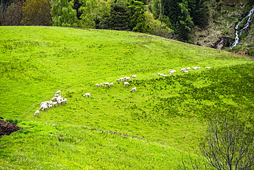 High angle view of goats in field, St. Peter, South Tyrol, Italy