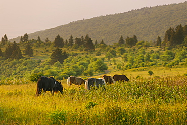 Wild ponies grazing in Mount Rogers National Recreation Area, USA