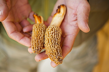 Man holding Molly moocher mushrooms
