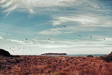 Birds flying over tussocks by Victor Harbor, South Australia, Australia