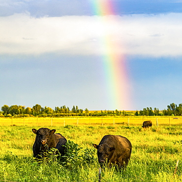 Bulls in field with rainbow in Picabo, Idaho, USA