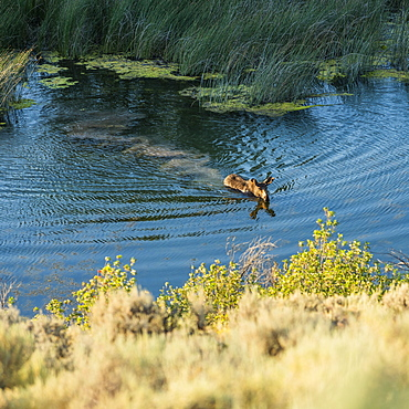 Moose swimming across river in Picabo, Idaho, USA