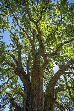 Oak tree in Concord, California, USA