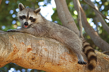 Raccoon lying on branch
