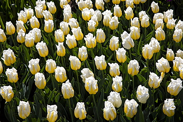 White tulips in field in Amsterdam, Netherlands