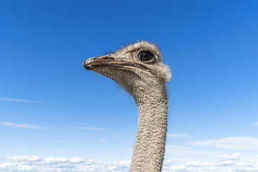 Portrait of ostrich against cloudy sky
