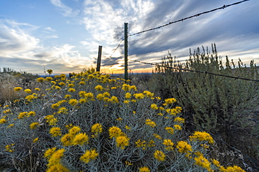 Sagebrush by barbed wire fence in Boise, Idaho, United States of America