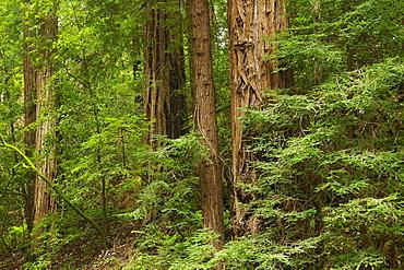Redwoods  Muir Woods  California