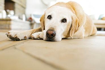 Yellow Labrador lying on floor