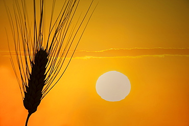 Silhouette of barley at sunset