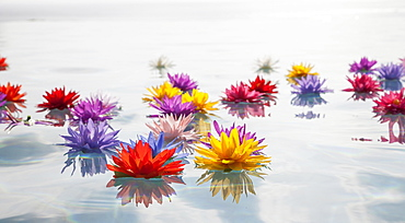 Colorful lotus flowers in water