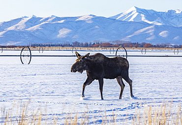 Moose walking on snow, Bellevue, Idaho, USA