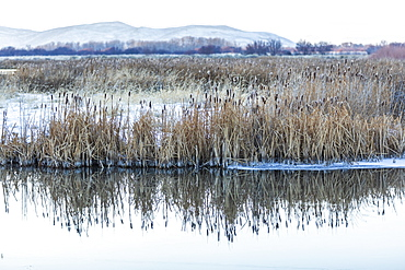 Reeds and stream during winter