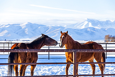 Brown horses in paddock during winter