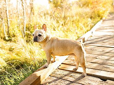 French bulldog on forest boardwalk