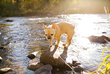 French bulldog on rock in river