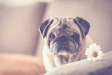 Pug with daisy on sofa