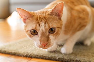 Cat crouching on rug