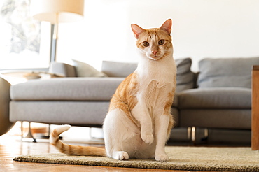 Cat with raised paw sitting on rug