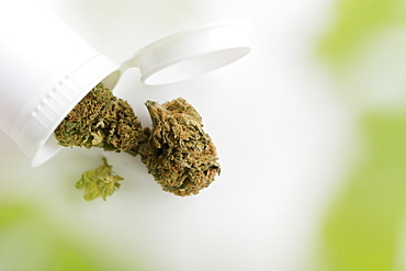 Cannabis dried leaves in white container