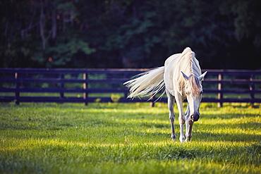 Horse grazing in pasture