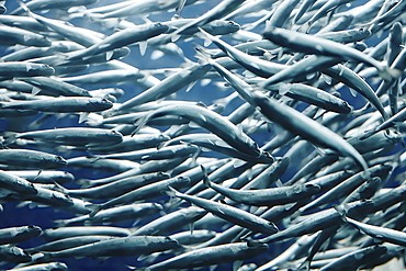 School of fish in sea